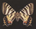 Photograph:Specimen of  the butterfly 'Gifucho'
